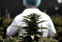 Photo of Argentina y Brasil acordaron impulsar la producción y comercialización del cannabis.